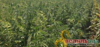 Операція «Мак-2020»: поліцейські ліквідували майже 300 гектарів незаконних посівів нарковмісних рослин
