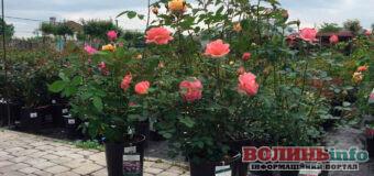 Розы – украшение сада